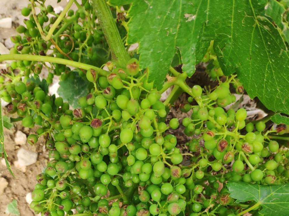 El granizo daña las pocas cerezas sanas de Codos y afecta a vides en Belmonte