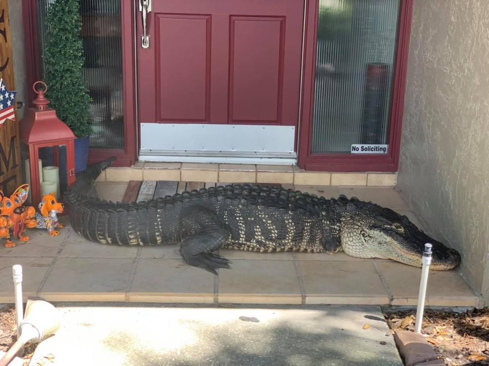 El cocodrilo que se encontró la familia en su puerta.