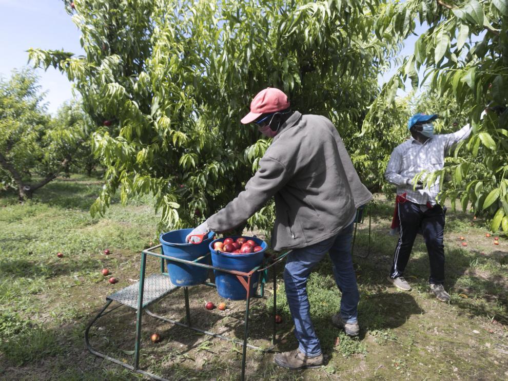 Trabajadores del campo durante la recolección de la fruta en una explotación de Fraga (Huesca)