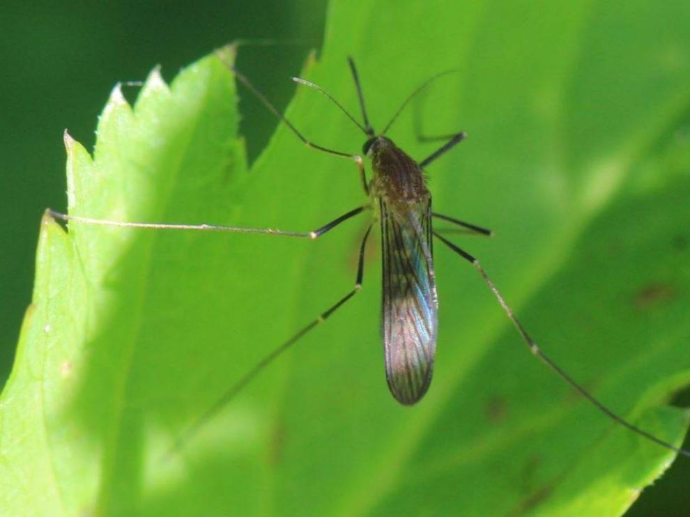 El mosquito Culex pipiens, principal vector del virus del Nilo Occidental junto al Culex perexiguus.