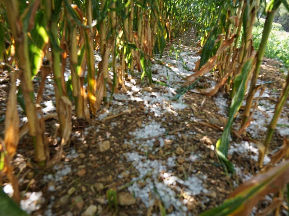 El granizo ha causado importantes daños en plantaciones de maíz.