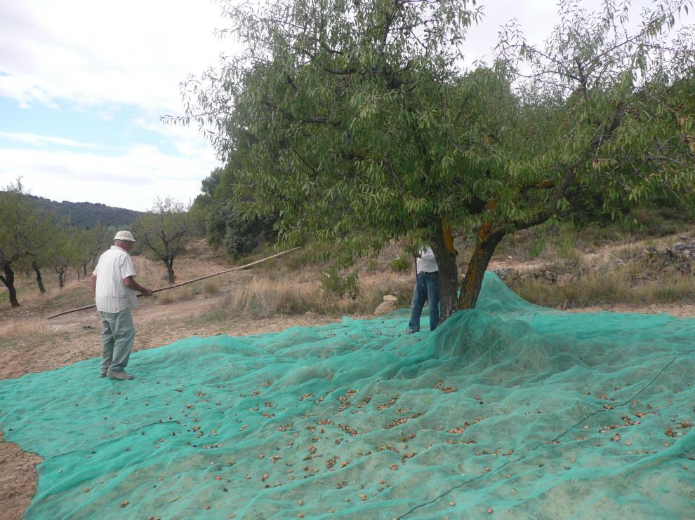 Imagen de archivo de la recogida de almendra en Aragón