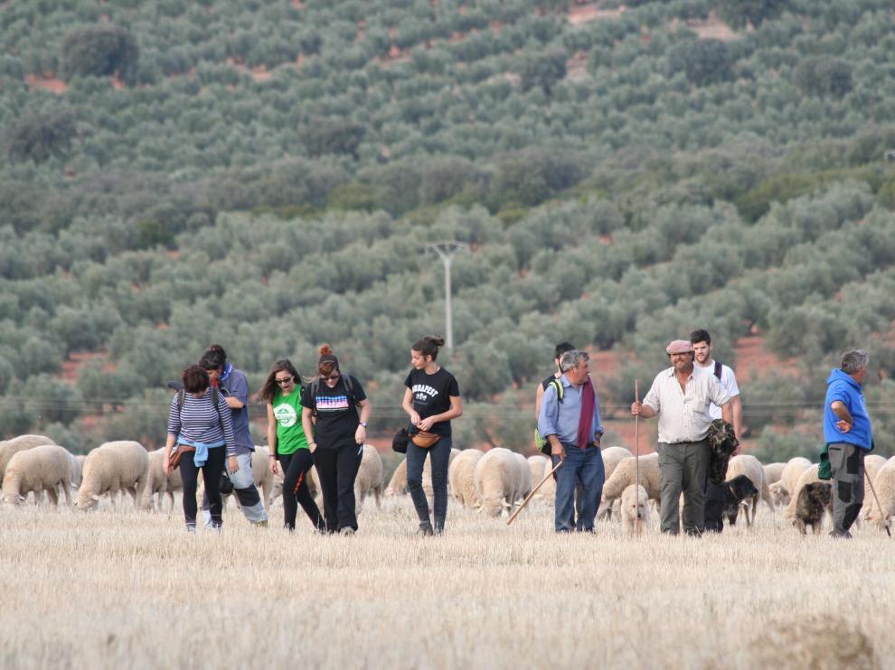 Un grupo de alumnos de la Facultad de Veterinaria participa en la trashumancia llevando, junto a los pastores, a los rebaños desde Guadalaviar a Vilches.