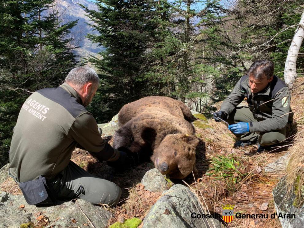 Agentes forestales con el cuerpo de Cachou, uno de los dos ejemplares muertos este año en circunstancias que se están investigando.