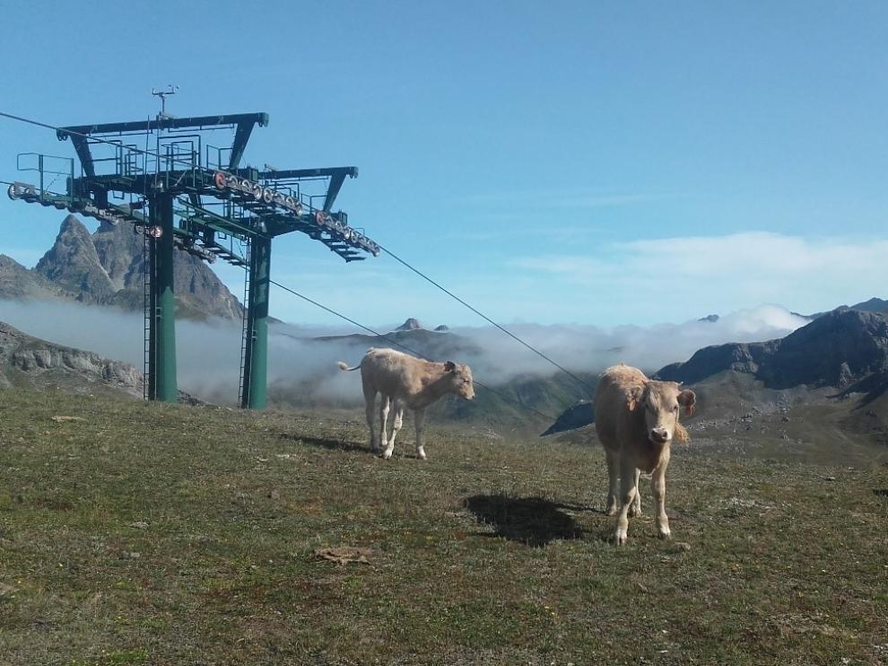 Vacas pastando en los pastos de una estación de esquí del Pirineo.