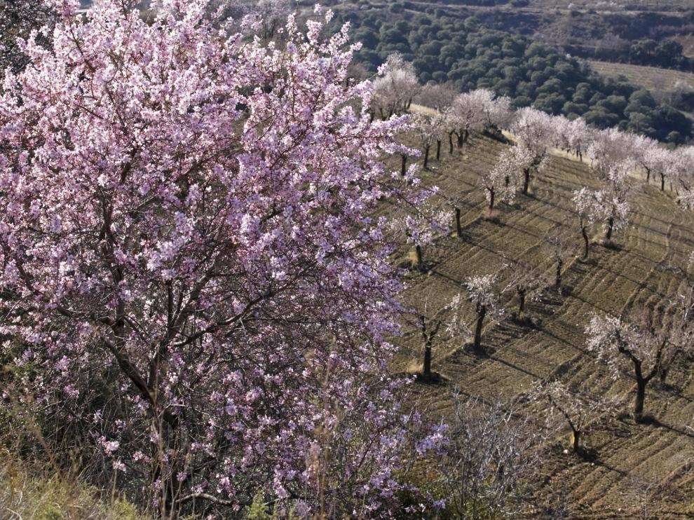 almendros cerezos en flor/jesus macipe[[[HA ARCHIVO]]]