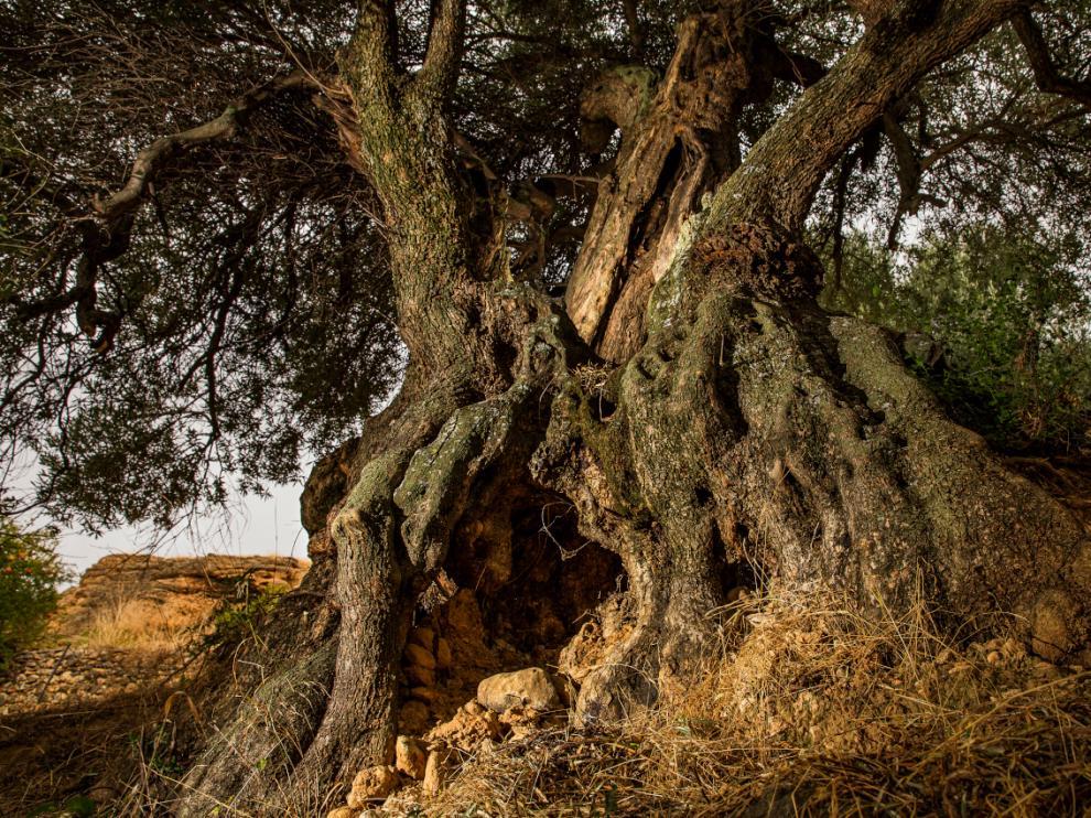 Uno de los tres olivos milenarios ya catalogados en Peñarroya de Tastavins.