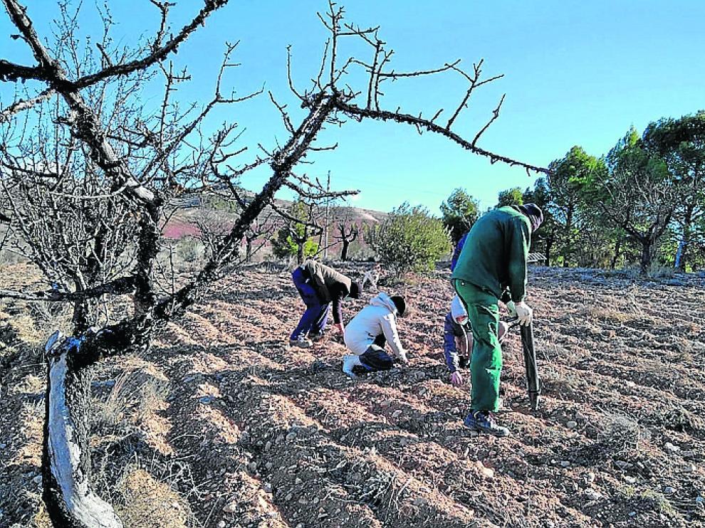 Los agricultores incorporados al proyecto realizan la plantación de distintas variedades aromáticas.