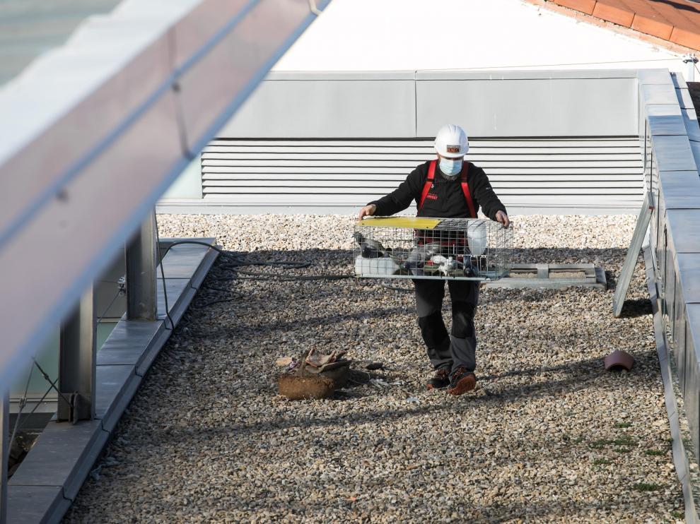 Un operario, con las palomas capturadas en la azotea del Museo del Fuego.