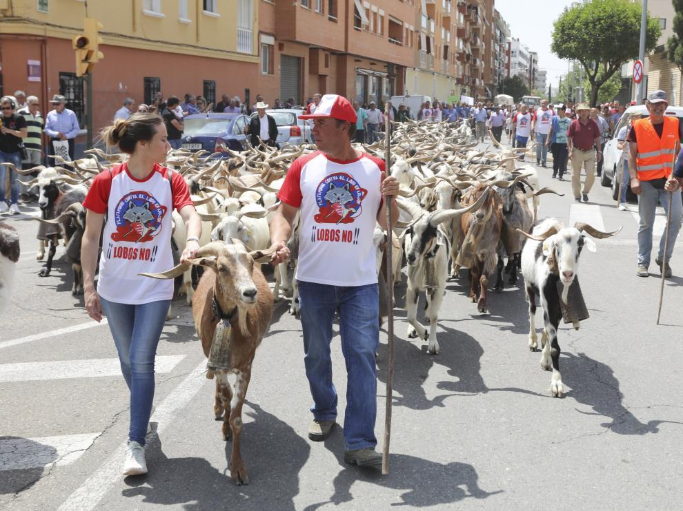 Los ganaderos de Aragón han manifestado públicamente su oposición a la presencia del lobo.