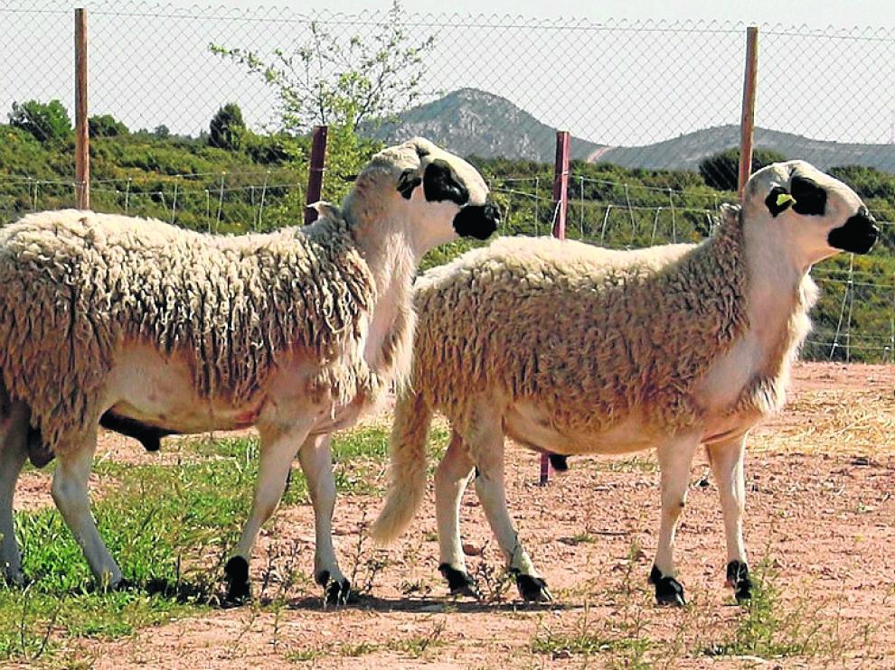 La oveja Ojinegra está incluida en la IGP Ternasco de Aragón.