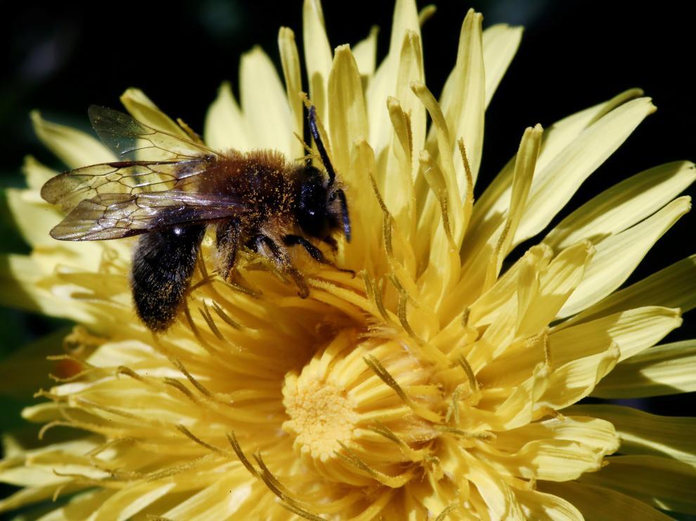 Una abeja poliniza una flor en Pamplona.