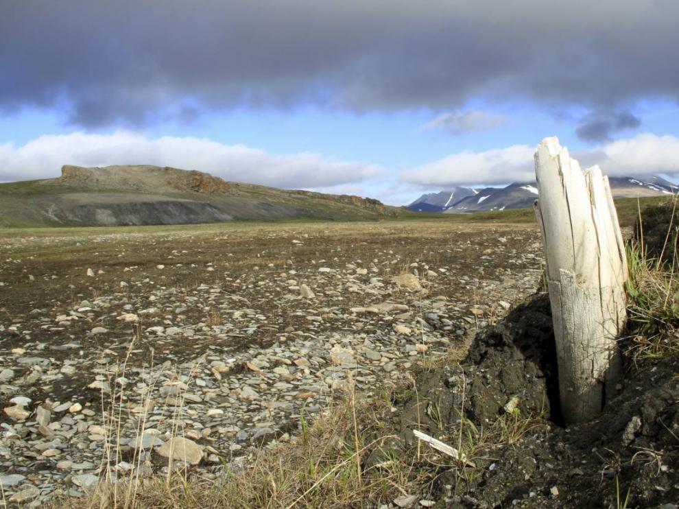 Colmillo de mamut lanudo emergiendo del permafrost en la isla central de Wrangel, situada en el noreste de Siberia.