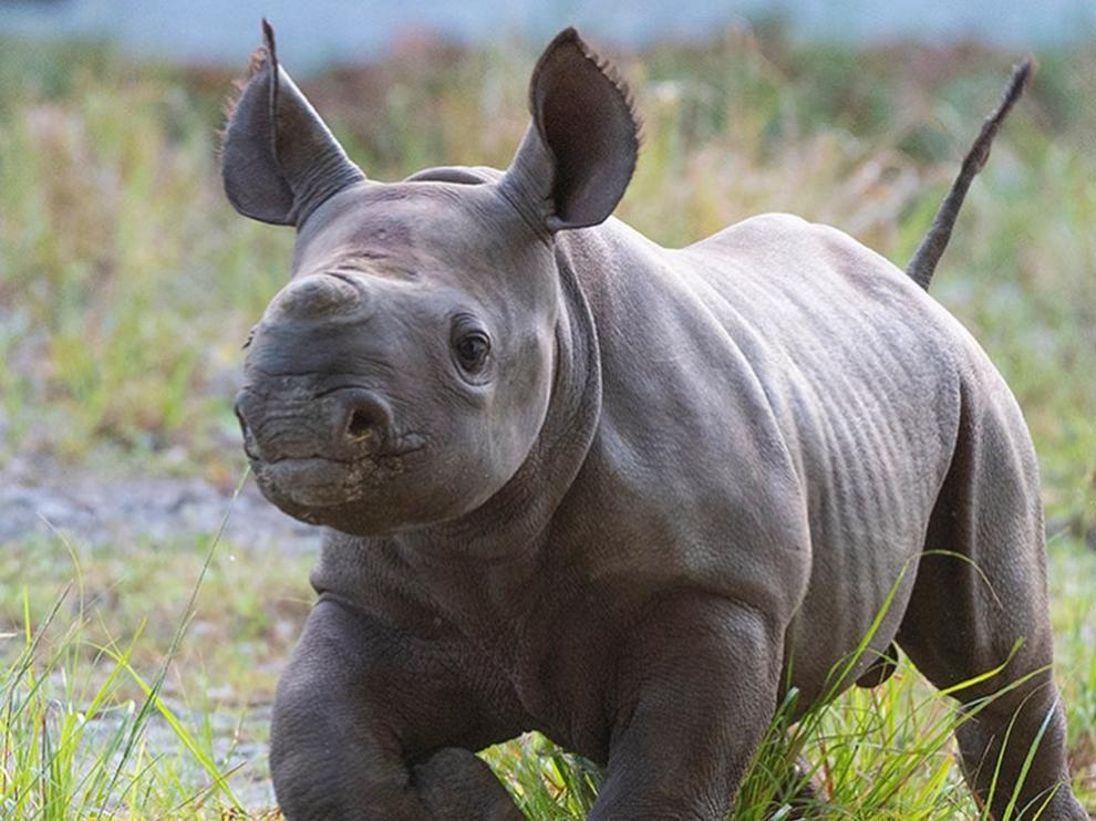 El pequeño rinoceronte es el cuarto hijo de Circe, una hembra de 21 años