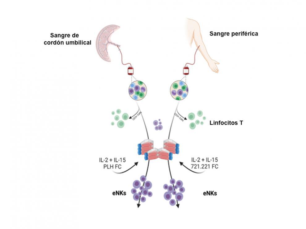 Esquema del protocolo de aislamiento y activación de células NK expandidas (eNK)