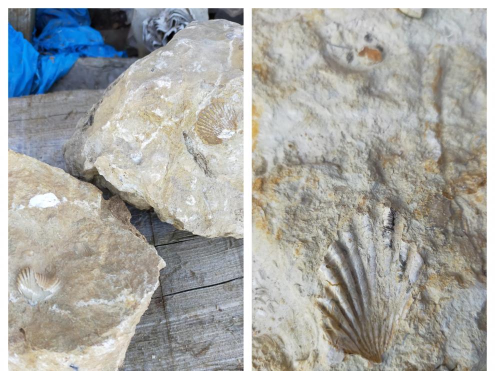 Fósiles encontrados por un vecino de Campillo de Aragón