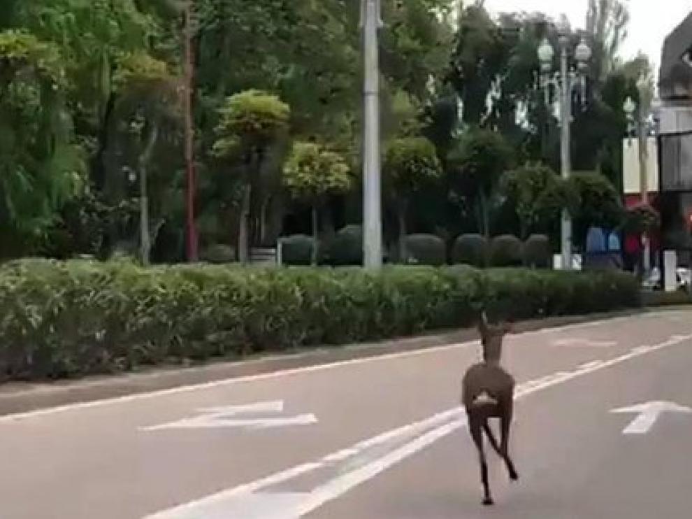 El corzo corriendo entre los coches en Valladolid