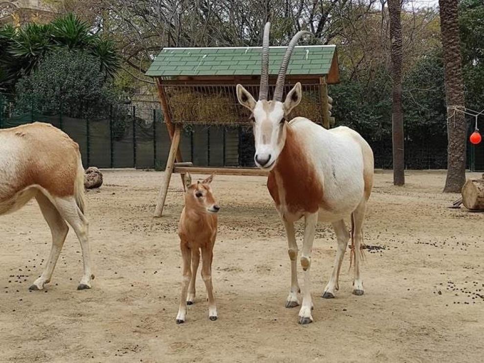 Tumbuctú, cría de oryx blanco recién nacida en el Zoo de Barcelona.