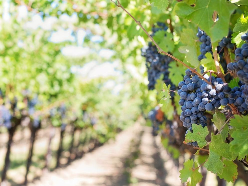 La DGA convoca las subvenciones para la reestructuración y reconversión del viñedo.