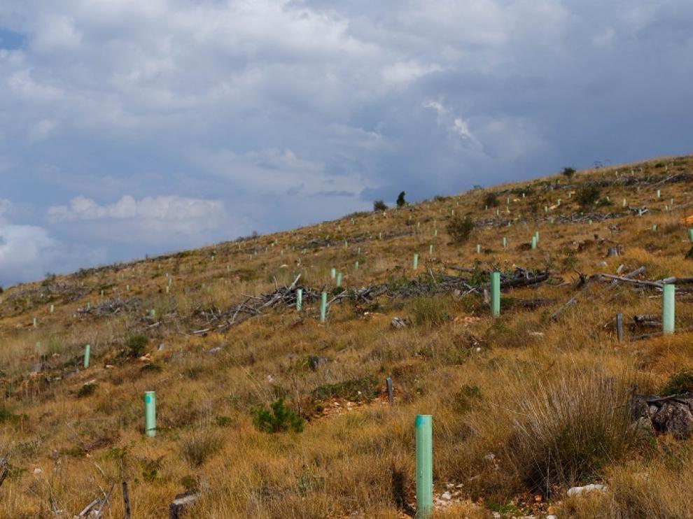 Reforestación en los montes de La Zoma afectados por el incendio de 2009.