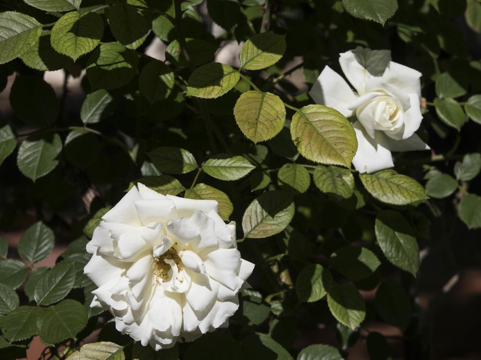 Rosas en el Jardín de la Media Legua.