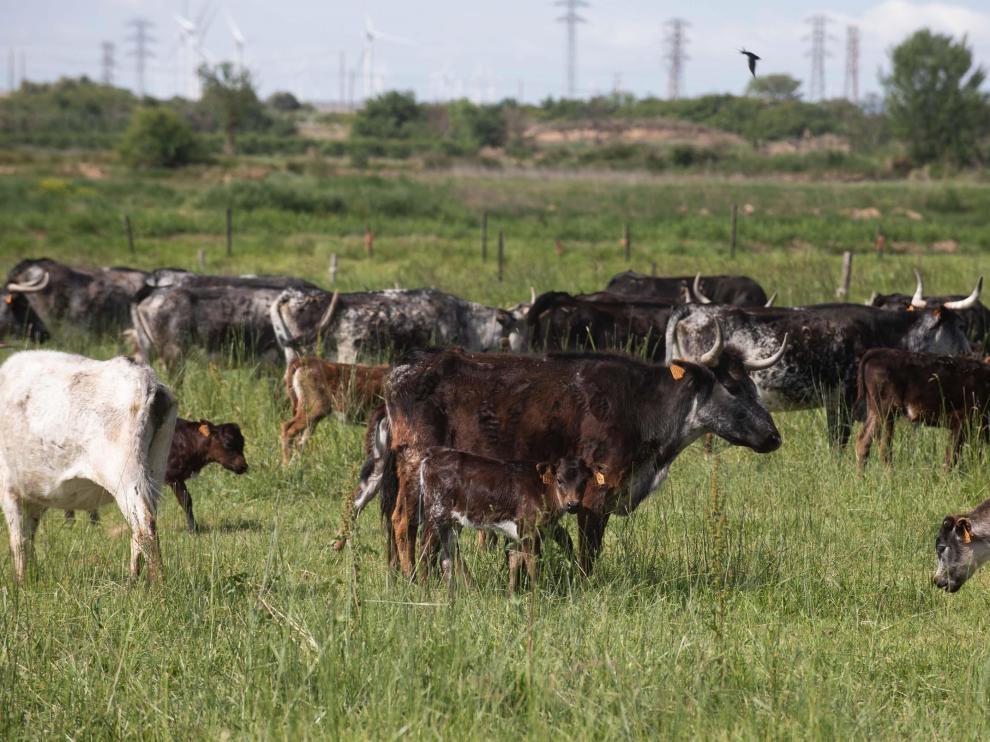 La ganadería de Los Maños tiene explotaciones en Figueruelas y en Luesia.