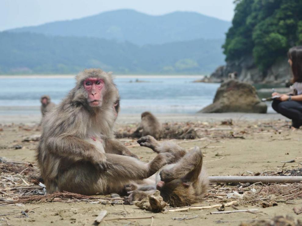 La doctora por la CEU UCH Alba Castellano, durante los experimentos con macacos japoneses en la isla japonesa de Koshima.