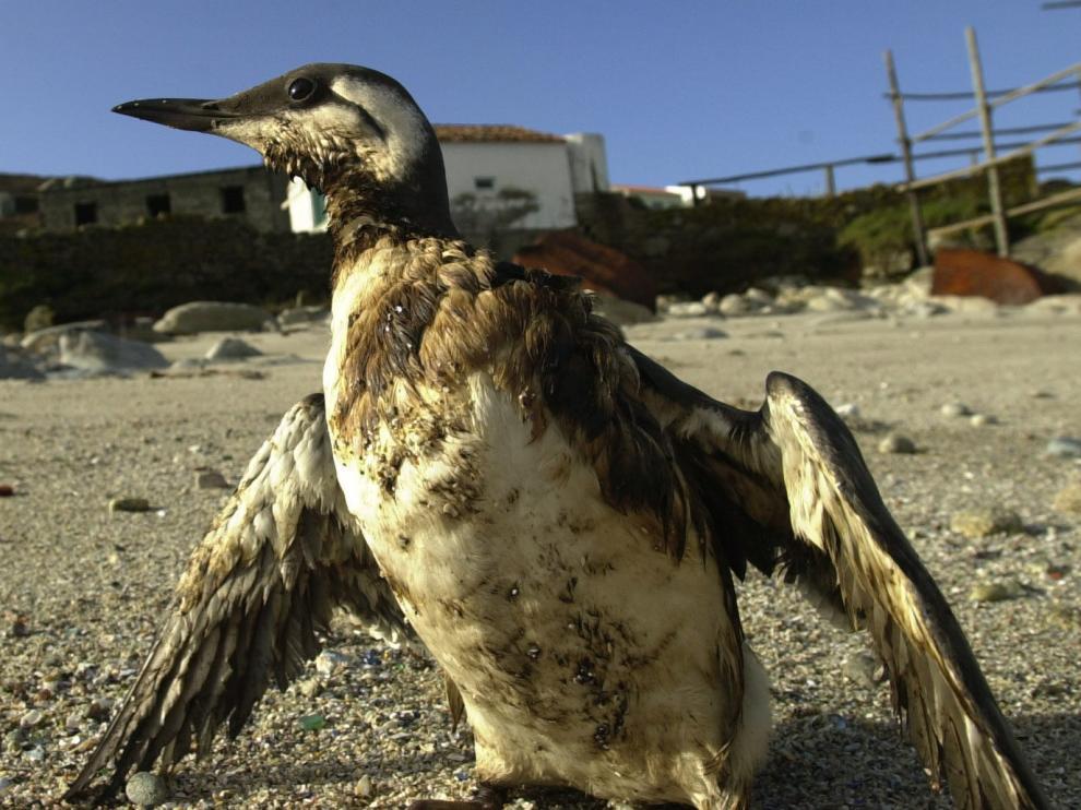 Una ave marina manchada con petróleo.