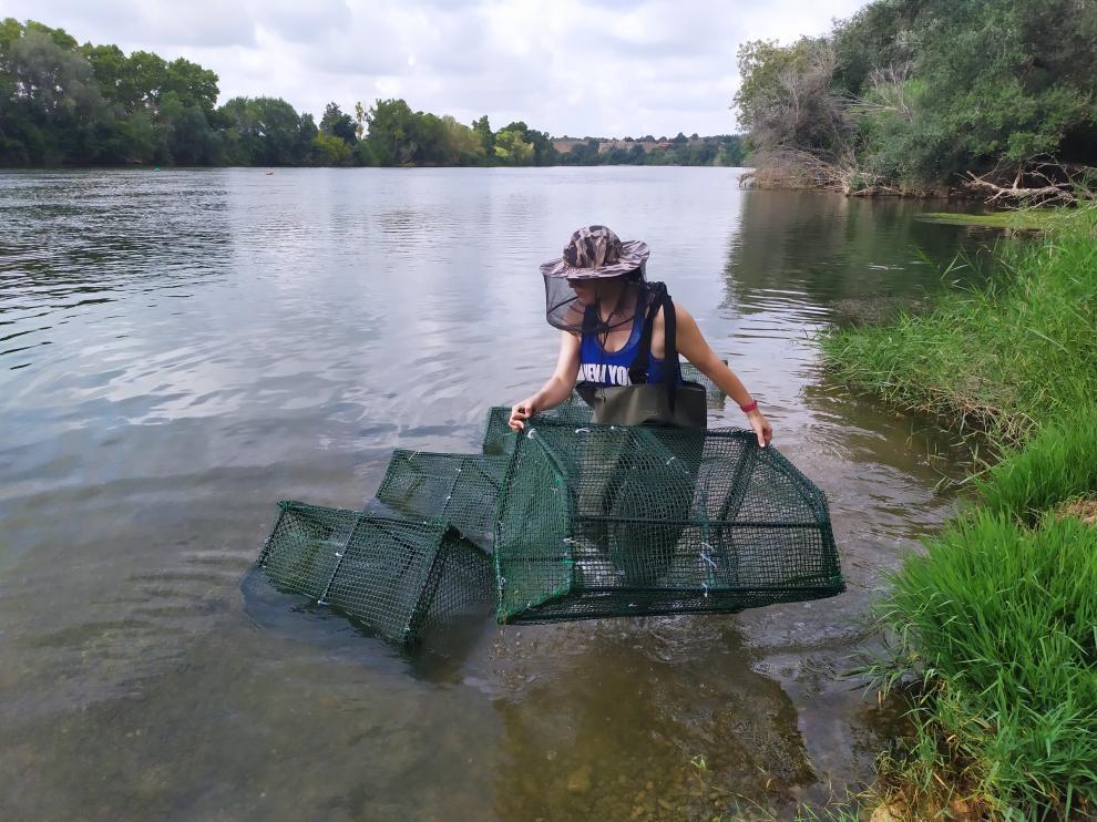 Vanessa Céspedes, investigadora del Instituto Pirenaico de Ecología, coloca cercados experimentales en el Ebro para estudiar el impacto del caracol manzana y el cangrejo azul en la zona de Tortosa