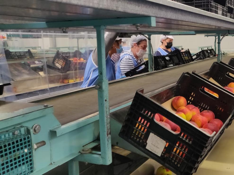Trabajadores clasificando fruta en uno de los almacenes del grupo Casas en Fraga.