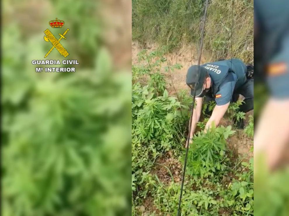 Huerto intervenido por la Guardia Civil con plantas de marihuana