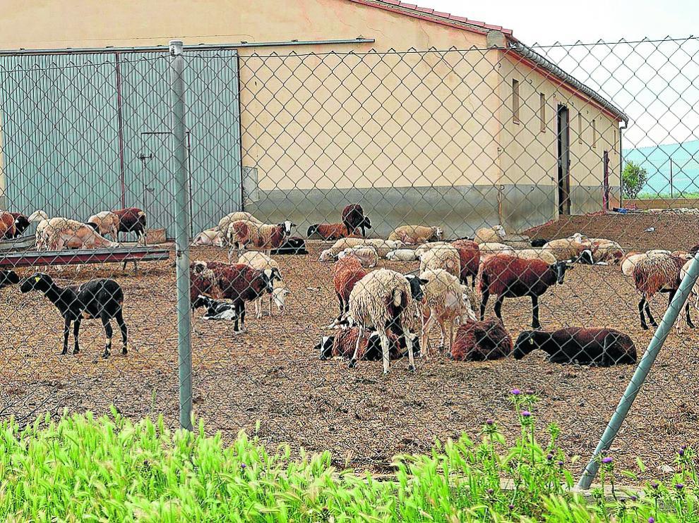 Una explotación de ganado ovino en La Puebla de Valverde