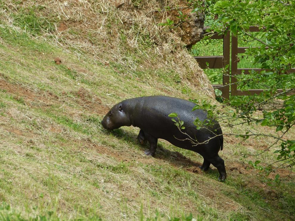 La hipopótama Moyamba, en el Parque de Cabárceno (Cantabria).
