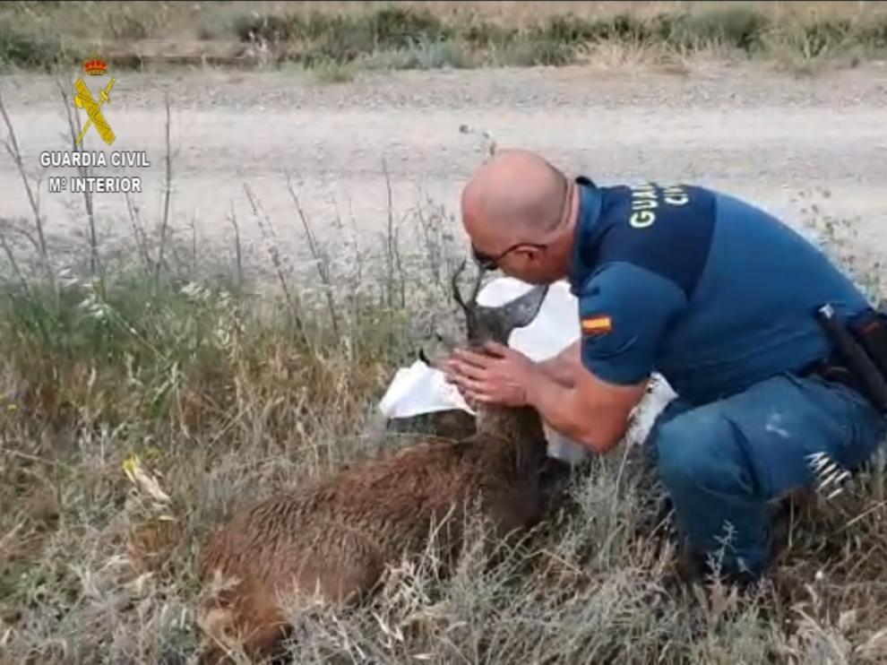 Un agente del Seprona de la Guardia Civil atiende al corzo herido en un canal cercano a Vicién.