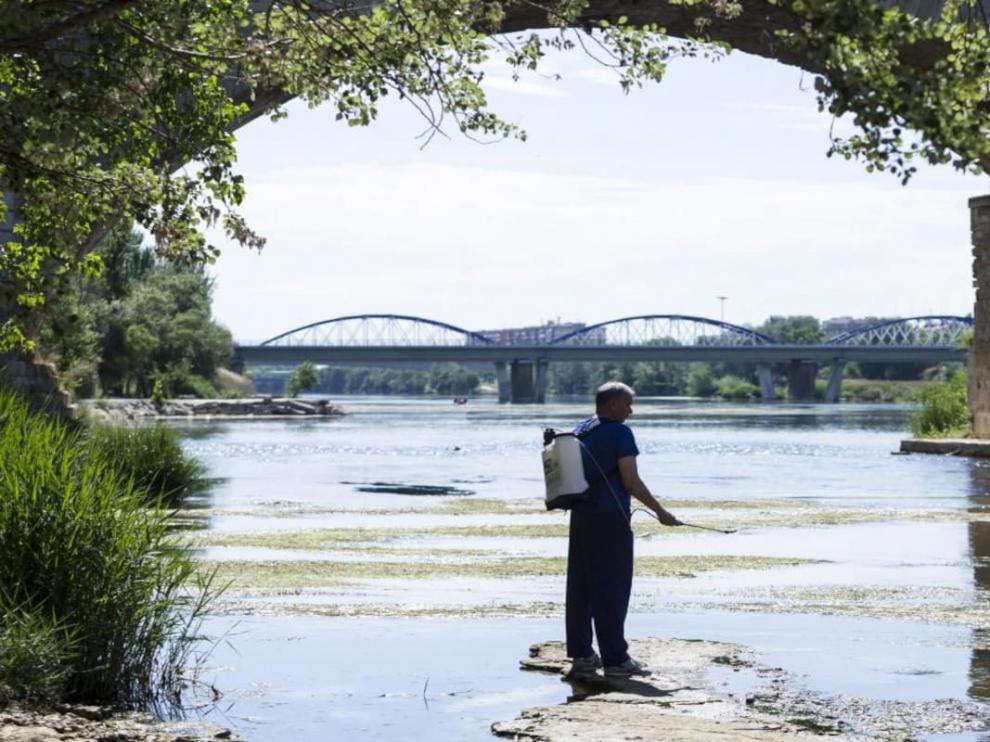 Trabajos para la prevención de la mosca negra en el Ebro, a su paso por Zaragoza.