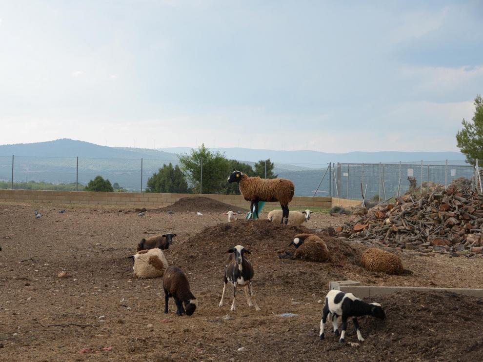 Explotación ovina en La Puebla de Valverde.
