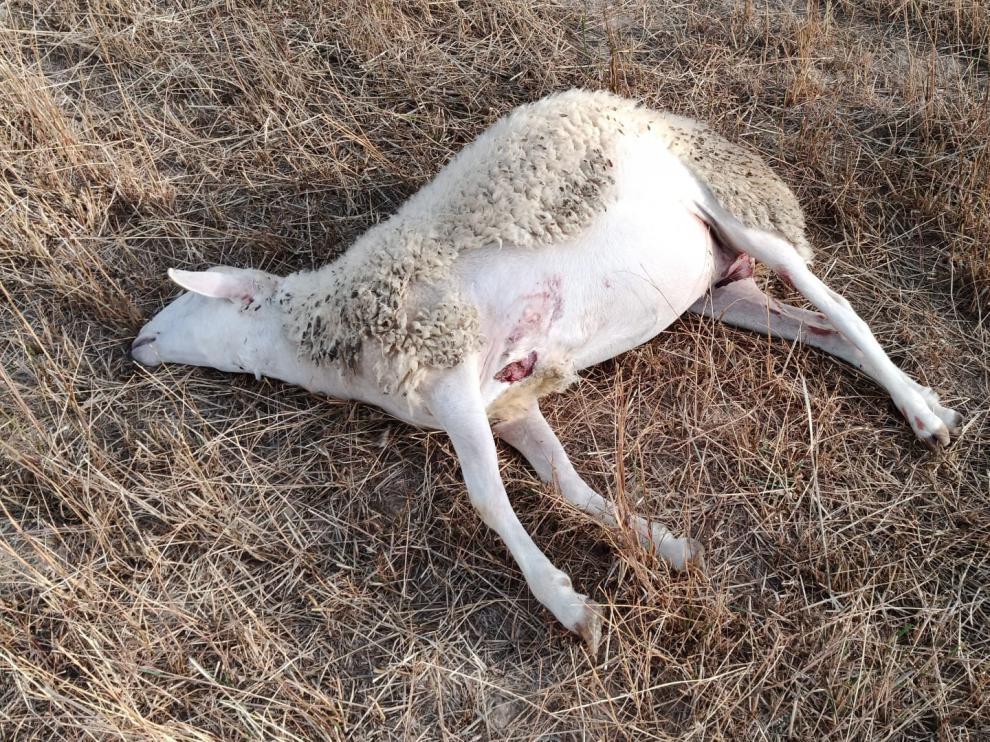 Al menos tres ovejas han resultado muertas en un ataque de lobo en Arrés.