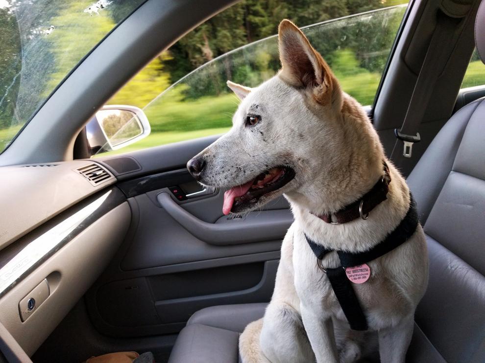 Cerca del 45% de dueños no lleva a su mascota correctamente en el coche.