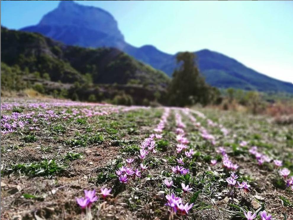 Azafrán cultivado en la finca de Laspuña, con la silueta de la Peña Montañesa al fondo.