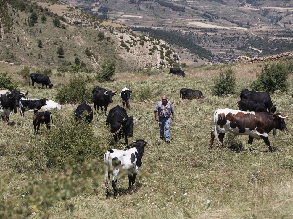Lionel Martorell, entre el ganado, en sus pastos familiares