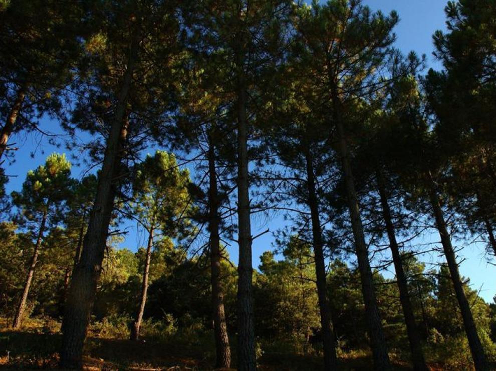 El pinsapar de Orcajo es un bosque de 15 hectáreas de abeto andaluz