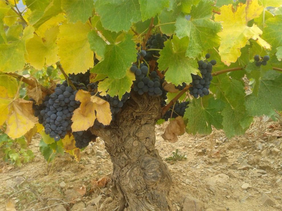Racimos de uva madurando.