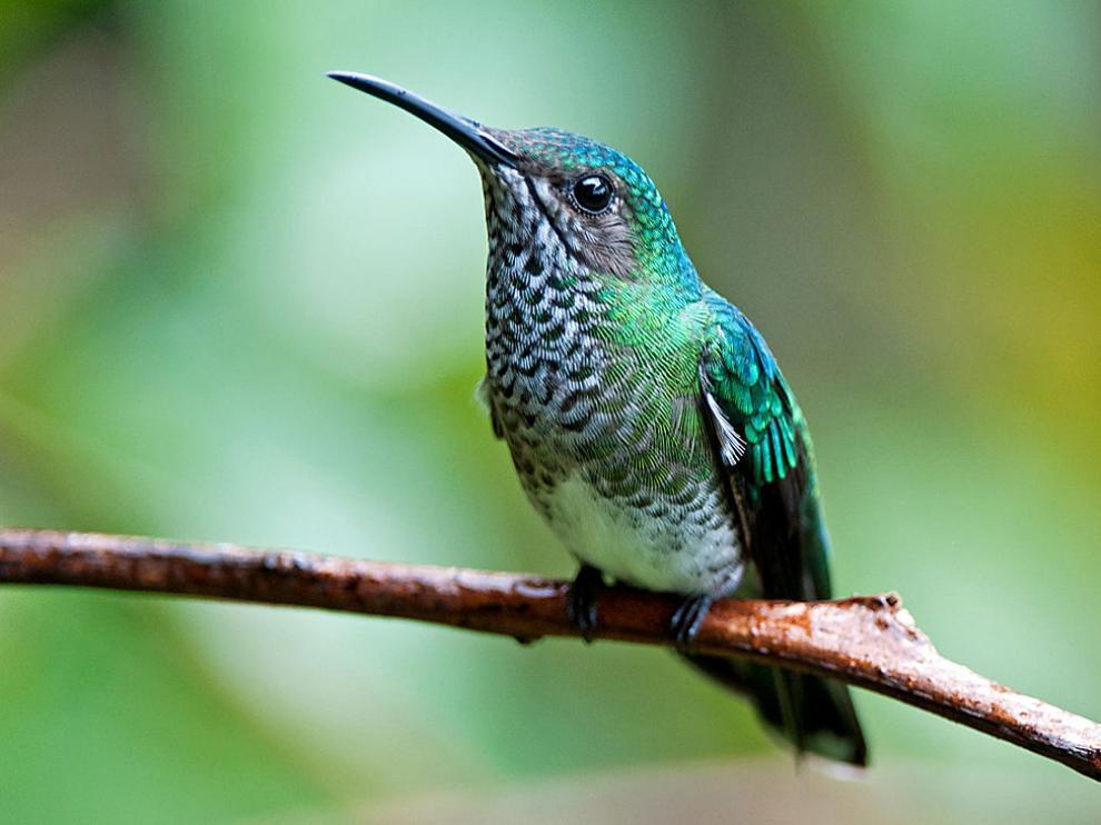 Hembra de colibrí nuquiblanco
