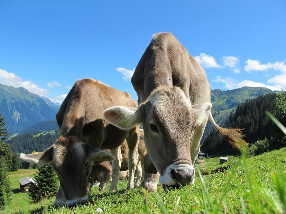 Foto de archivo de vacas pastando