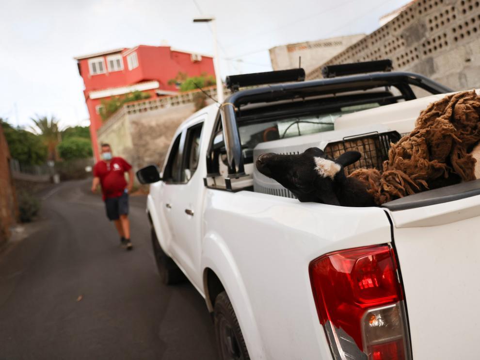 La lava está afectando a una zona agropecuaria y se hacen esfuerzos por salvar a los animales.