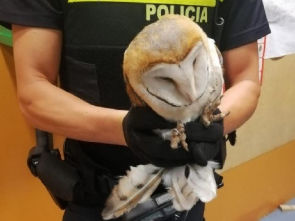 La lechuza herida que ha sido recuperada por agentes de la Policía Local de Zaragoza.