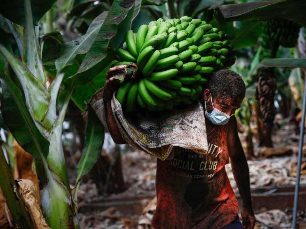 Labores de recolecta de plátanos a contrarreloj en La Palma