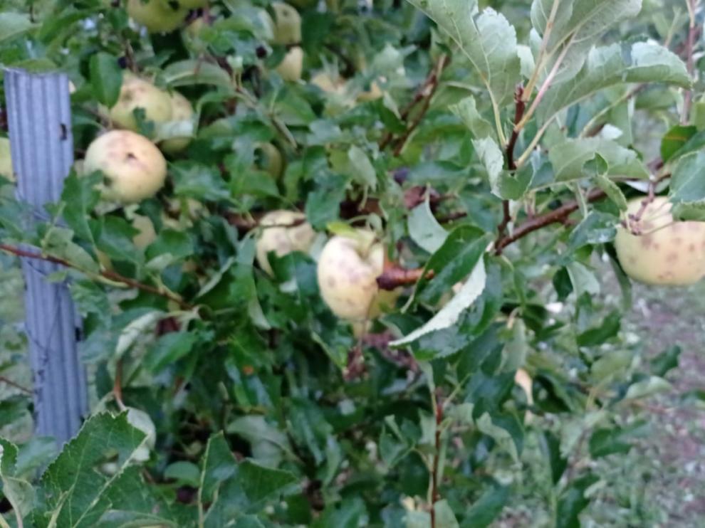 Daños provocados por el granizo en cultivos de manzana tardía en Moros (Zaragoza)
