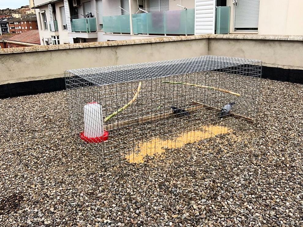 Una de las jaulas utilizadas para la captura de palomas en Monzón.