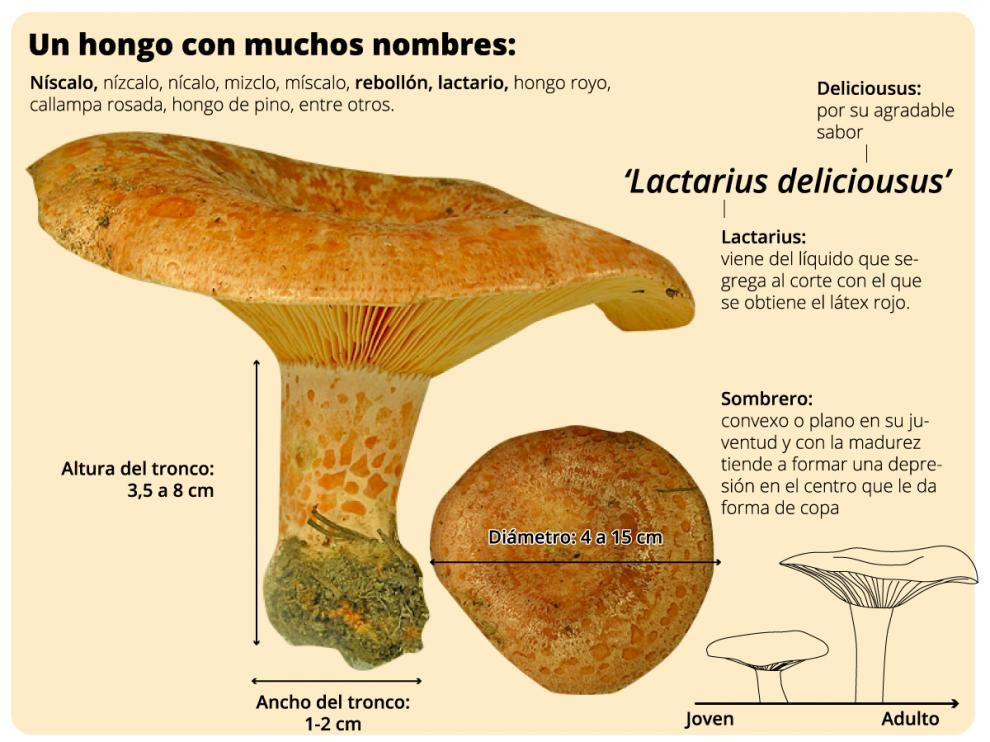El rebollón es un hongo muy apreciado en Aragón
